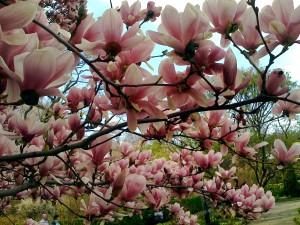 spring-magnolia